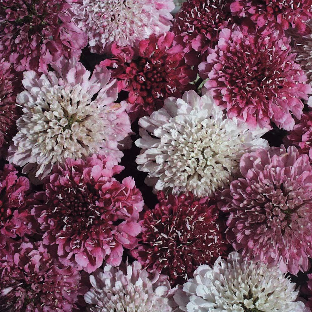 Scabious 'Summer Sundae' Hardy Annual Seeds Thompson