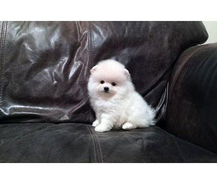 Sw M F Pomeranian Puppies Pomeranian Puppy Puppies Puppy Adoption