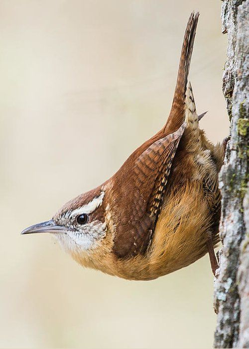 Carolina Wren Greeting Card For Sale By Mitch Wessels In 2021 Pet Birds Colorful Birds Wild Birds