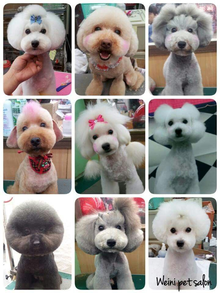 Poodle Poodle Grooming Dog Grooming Dog Grooming Business