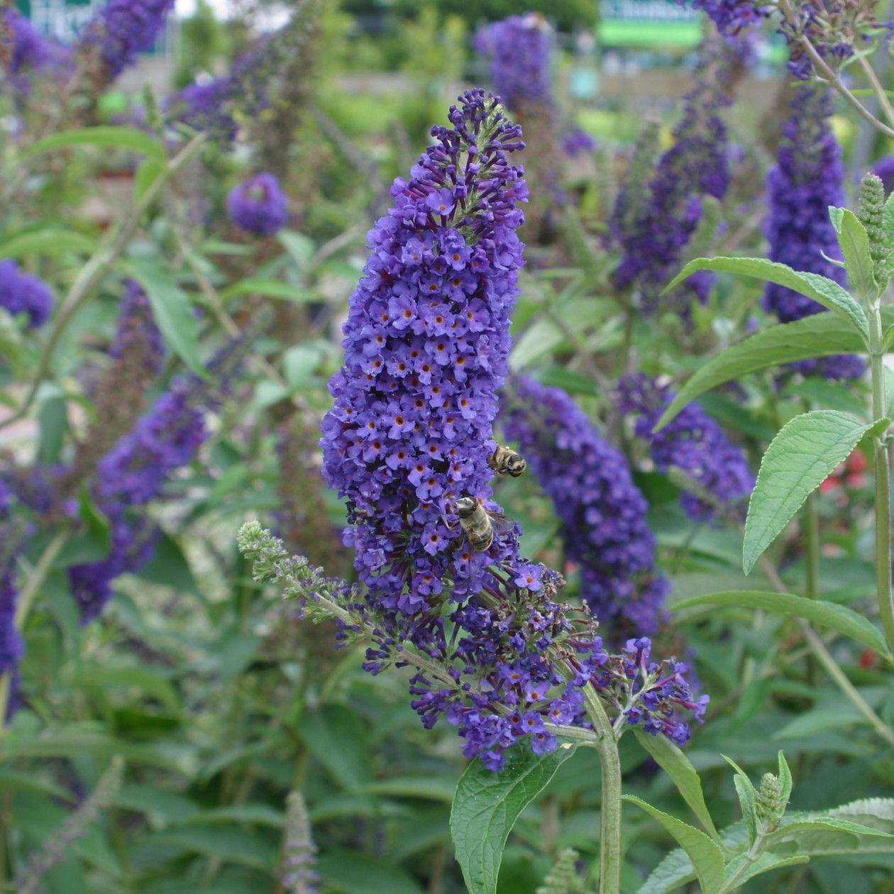 buddleja davidii 39 empire blue 39 butterfly bush bloemen en. Black Bedroom Furniture Sets. Home Design Ideas