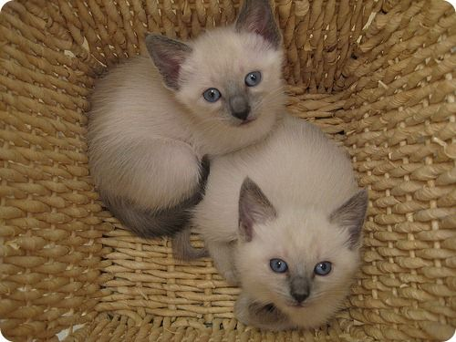 Happily Smiling Com Kittens Cutest Cute Kitten Gif Siamese Cats