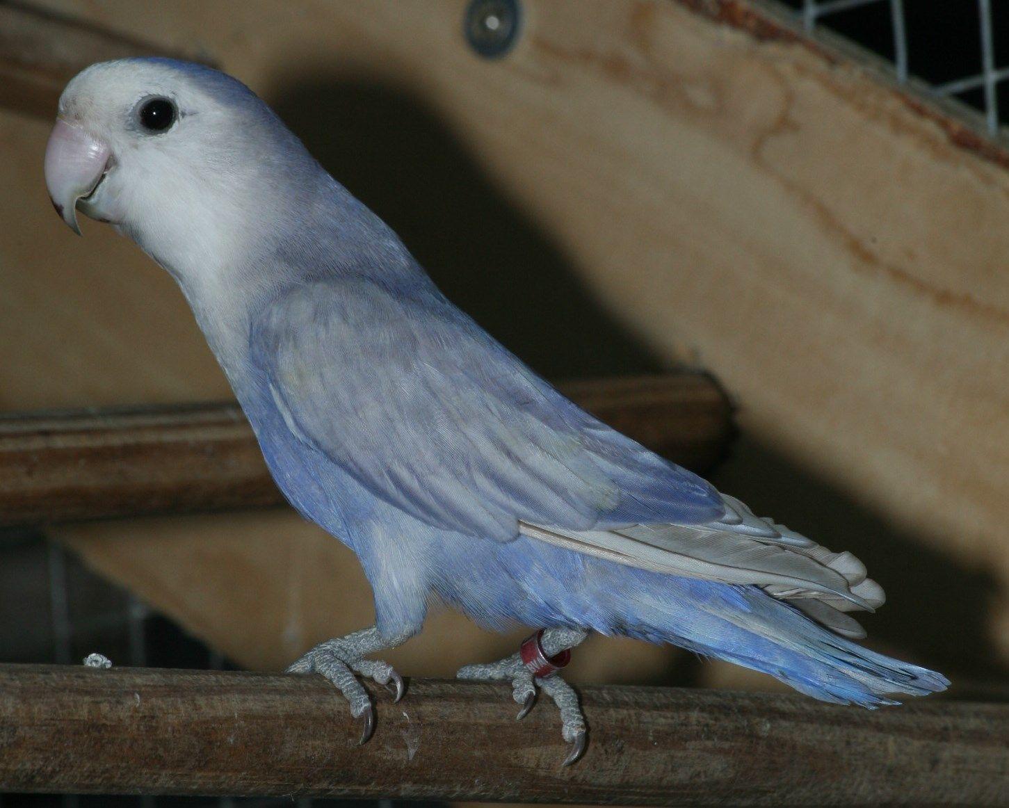 Agapornis Roseicollis Blue African Lovebirds Pretty Birds Animals