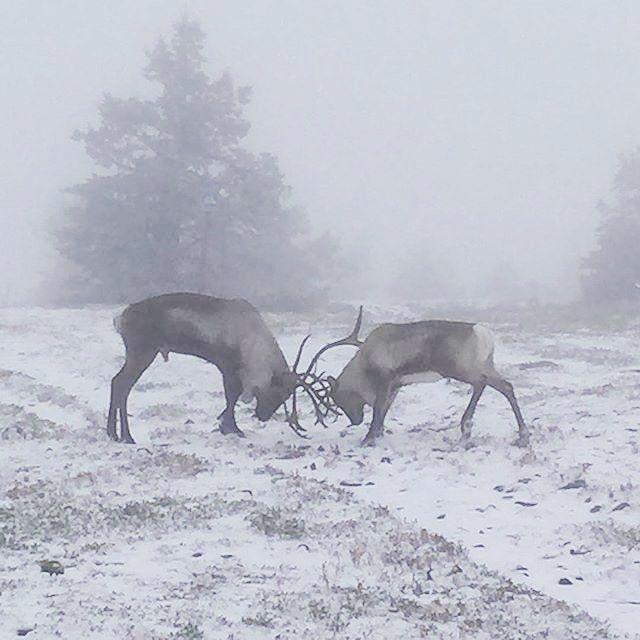 Let the battle begin - period of reindeer's rut. Whose gonna get the hottiest female reindeer  and yes we already got ❄️ Son pojat rykimäaika! Siinä hirvaithen sarvet kolisee ko taistelhan kelle kuuluupi se kommein vaadin.  Levitunturin huipulla tämän ikuisti @outsaeveliina Kiitos hienosta kuvasta. Sitä ei koskaan tiiä, mitä tunturin päältä löytyy   #BreakLevi #BreakSokosHotelLevi #visitfinland @ourfinland #visitlapland #thisisfinland #ig_finland #lapland #reindeer #caribou