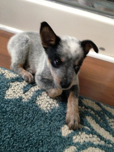 Our Australian Cattle Dog Blue Heeler Puppy Gidget Her One Ear