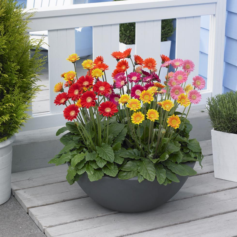 Flowers That Go With Gerbera Daisies Typesofflower Com Container Flowers Container Garden Design Flower Pots