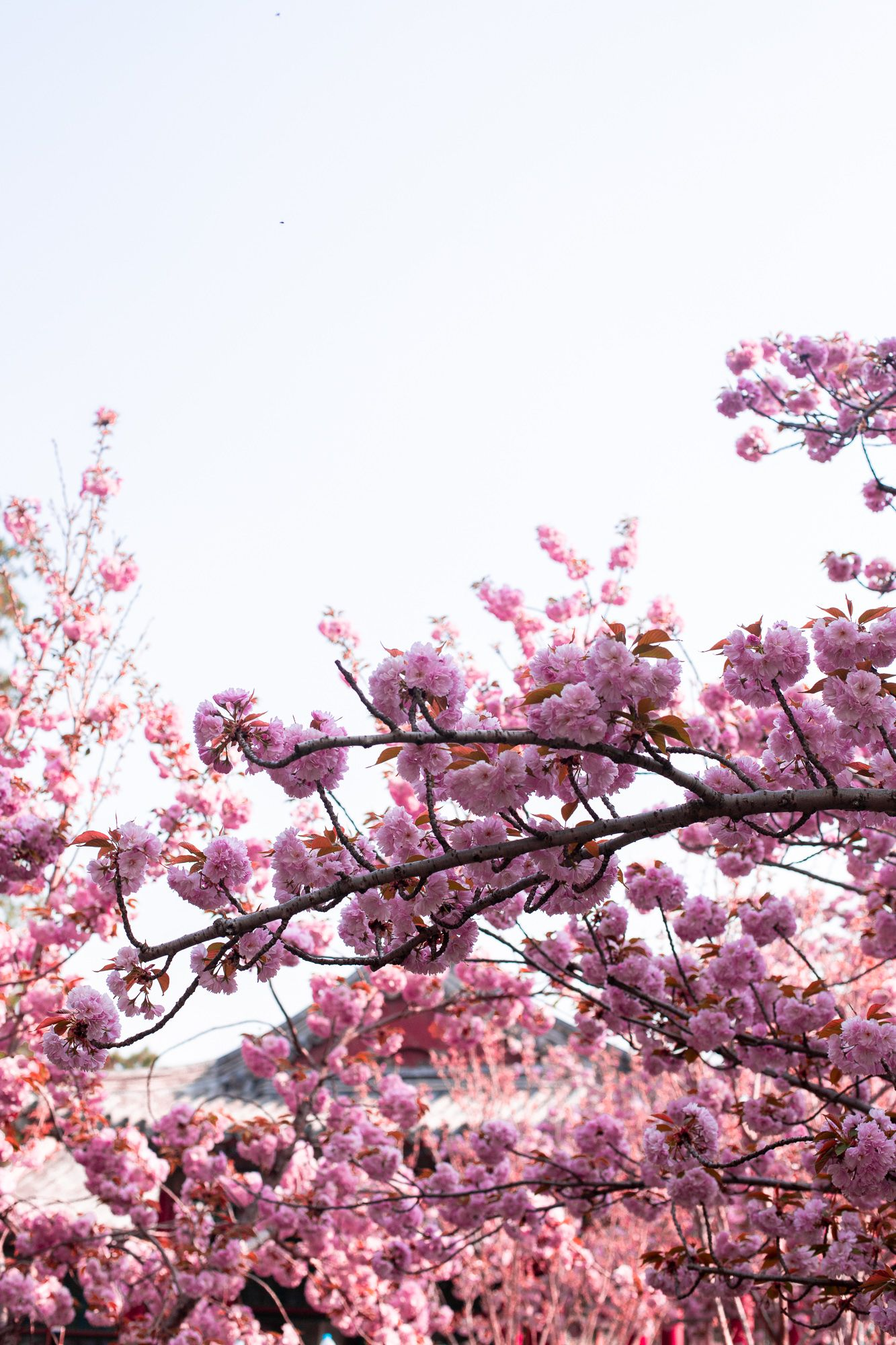 Cherry Blossoms In China Lush To Blush Summer Palace Beijing Summer Palace Beijing