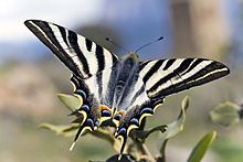 Southern scarce swallowtail (Iphiclides feisthamelii) male