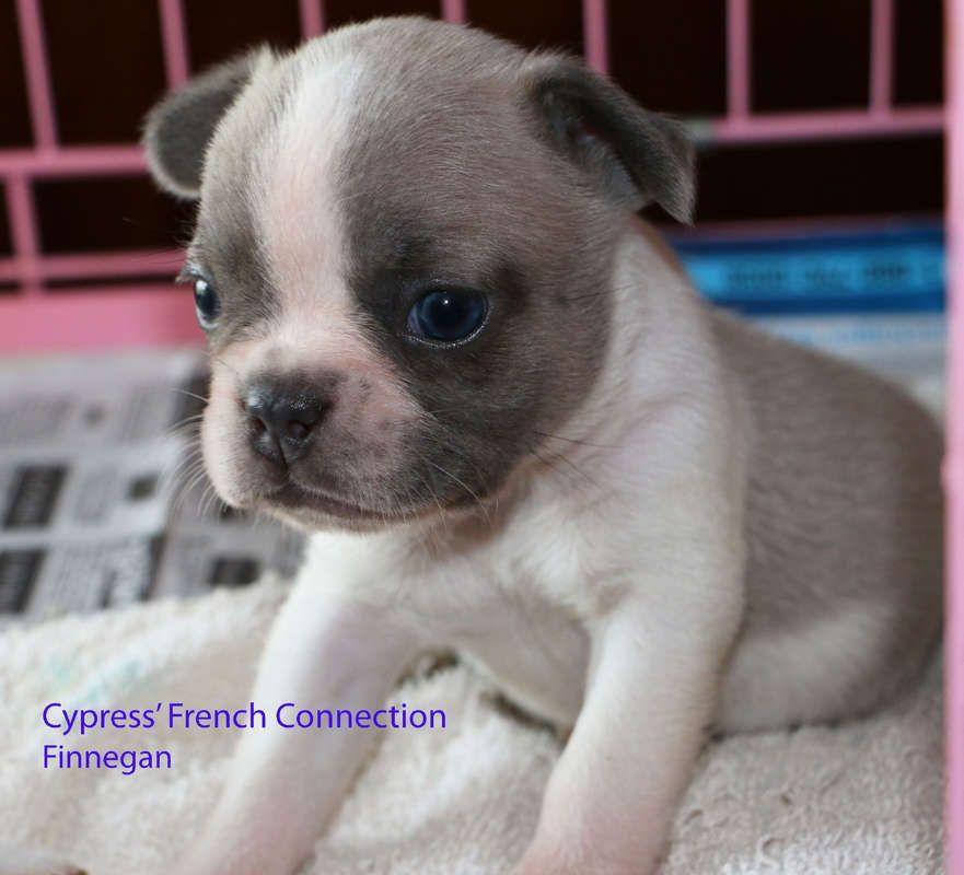 French Bulldog For Sale Hoobly Classifieds Bulldog Pied