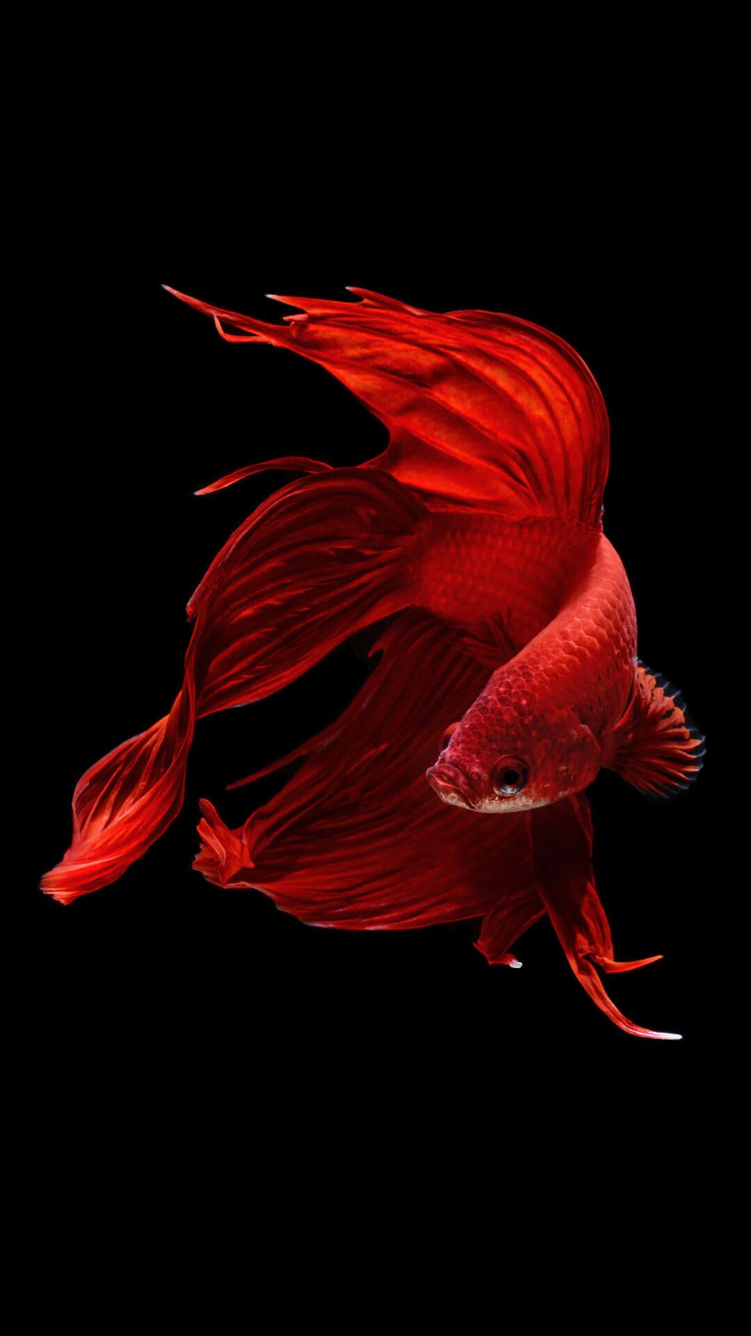 Betta Fish iPhone 6 And iPhone 6s Wallpaper HD | Animal Wallpaper for iPhone | Fish wallpaper ...