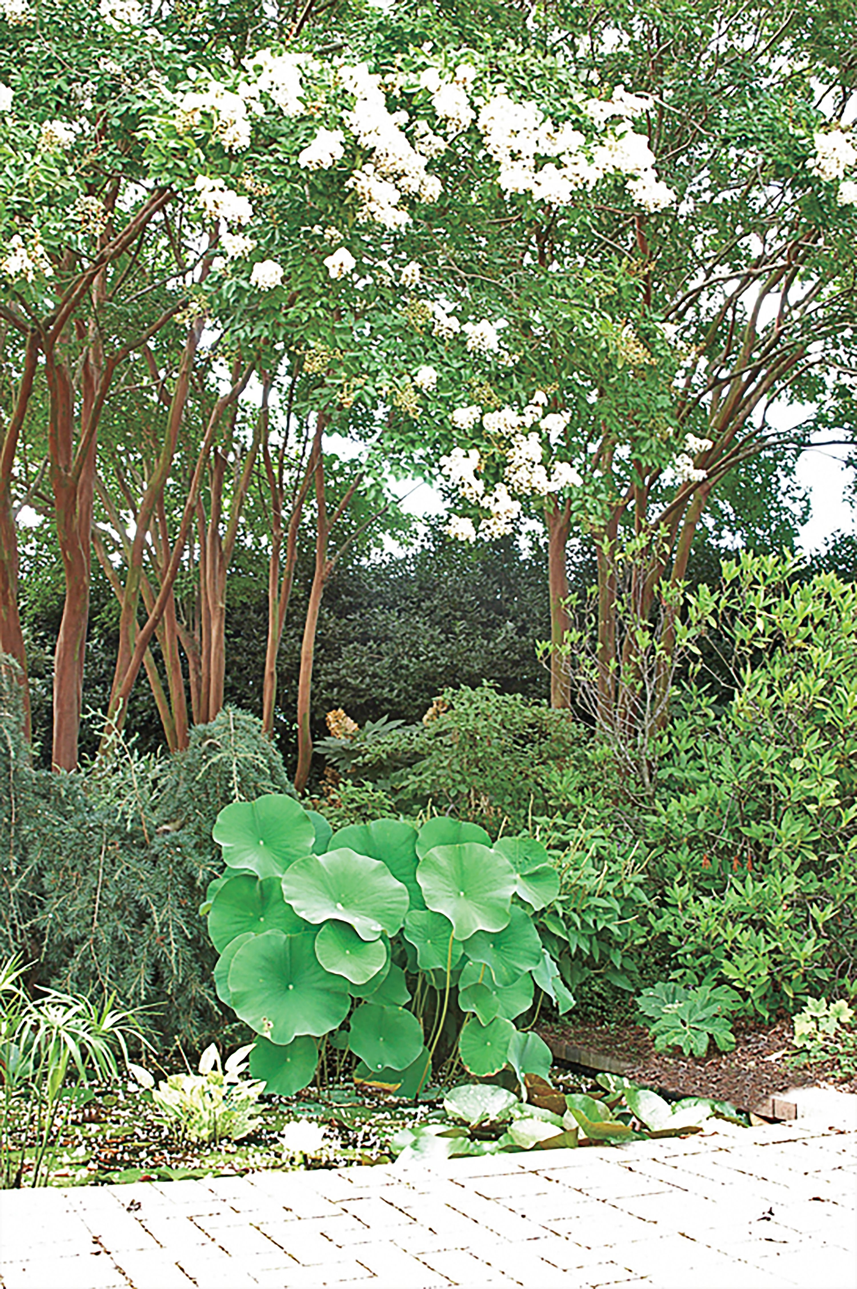 Fast-Growing Shade Trees | Pinterest | Lagerstroemia, Fast growing ...