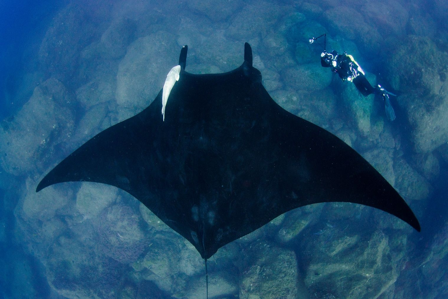 Giant manta rays   Amazing genetics - diversity of life   Pinterest   Manta  ray, Humpback whale and Shark