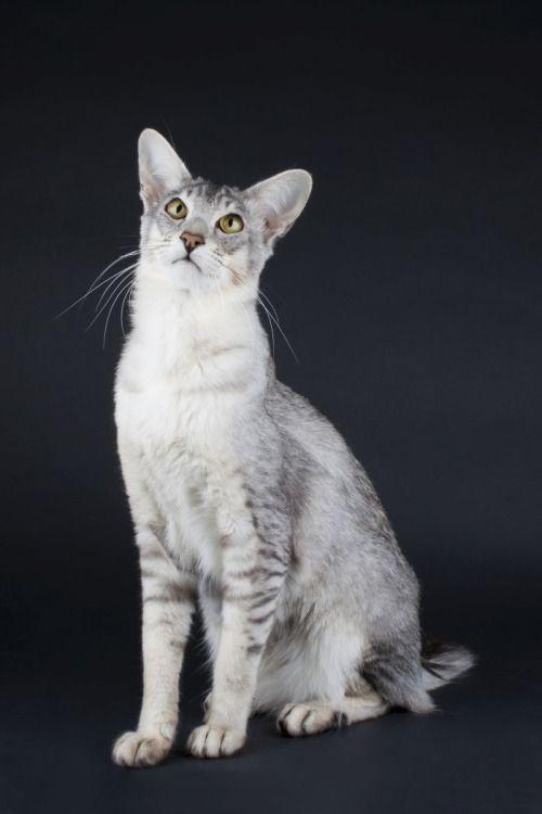 Black Silver Ticked Tabby Cat Colors Singapura Cat Tabby Cat