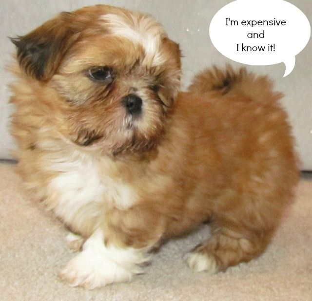 Dog Ownership Are You Ready To Be A Good Dog Parent Shih Tzu