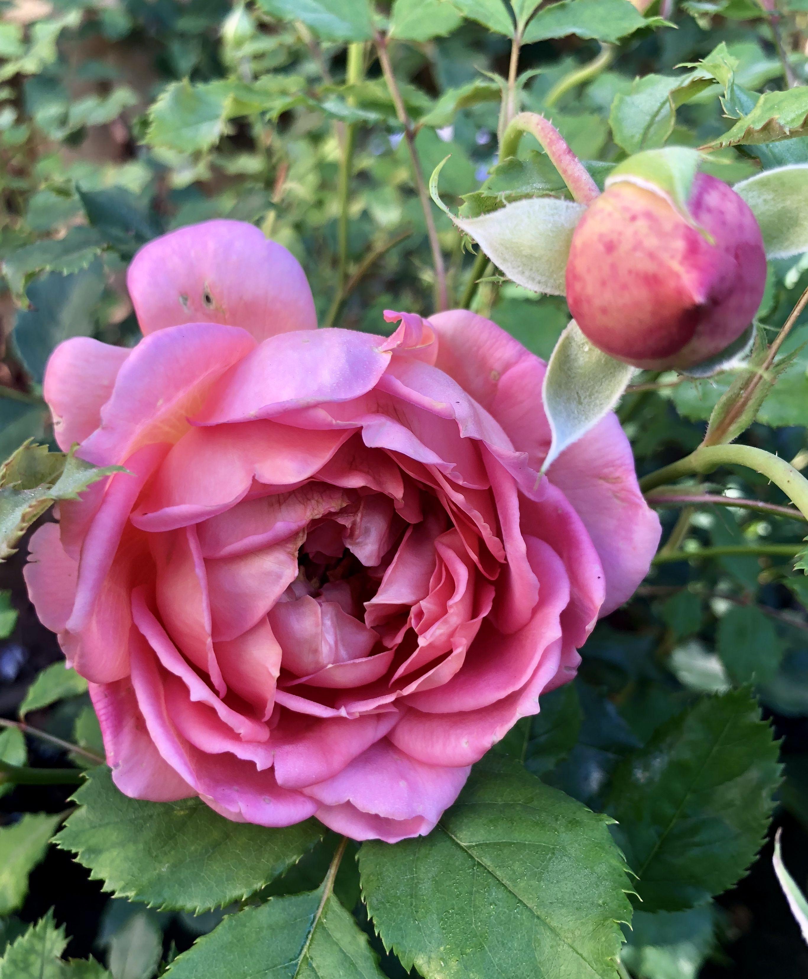 26th September 2018. Rosa Jubilee Celebration still
