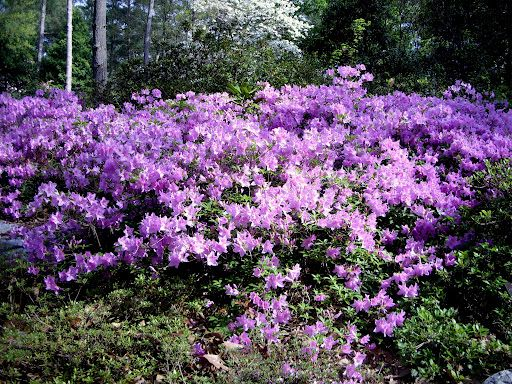 Sweet Home And Garden Carolina An Azalea For Every Garden Korean Woodland Garden Azaleas Purple Garden