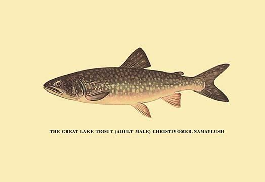 The Great Lake Trout