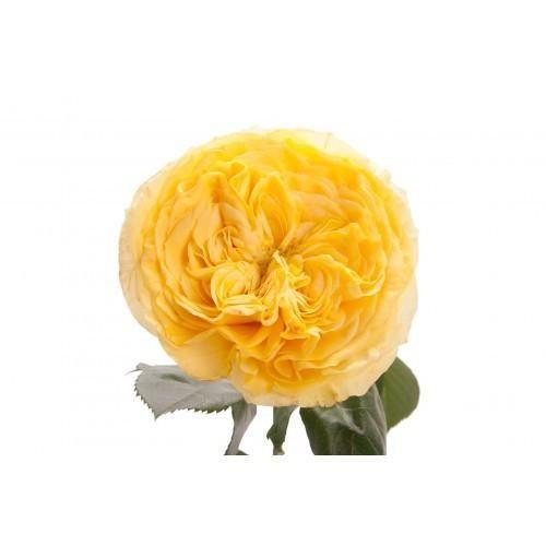 roses garden care Premium Yellow Garden Rose Wholesale Bulk