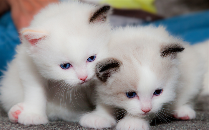 Download Wallpapers Small White Kittens Cute Animals Cute Cats