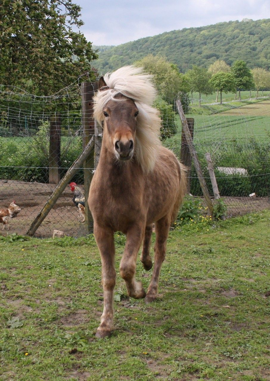 Fohlen 2013 Islandpferde Meineberg Webseite Brandys First Love