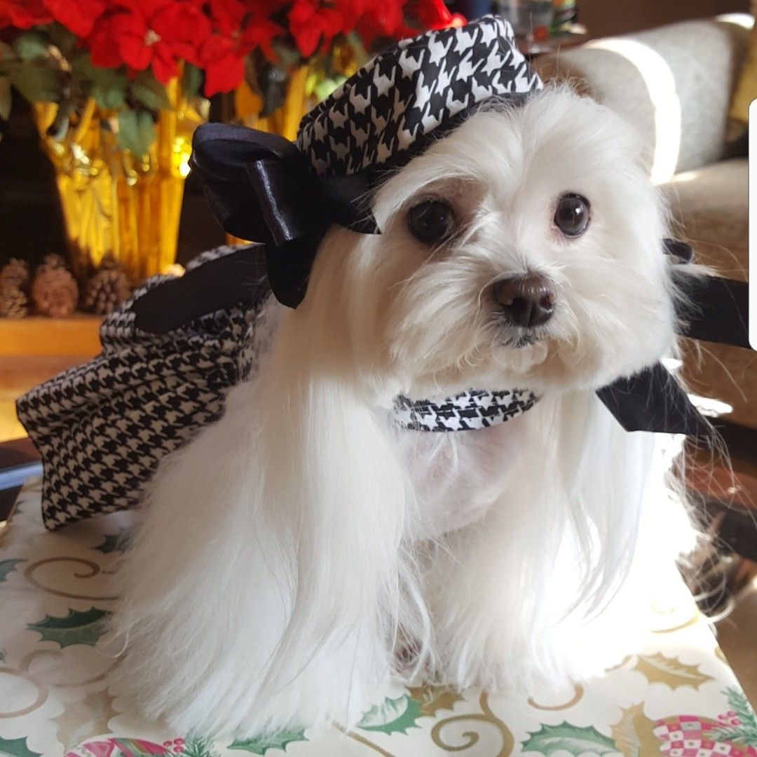 Maltese Puppies For Sale In Palm Desert Ca 2021
