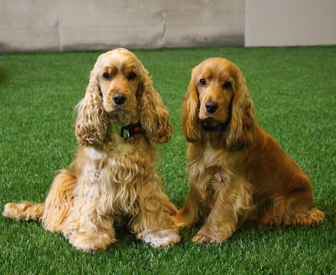 Mi Piace 408 Commenti 8 Remu And Roope Remuandroopethespaniels Su Instagram My Agility Frien Show Cocker Spaniel Cocker Spaniel Cocker Spaniel Dog