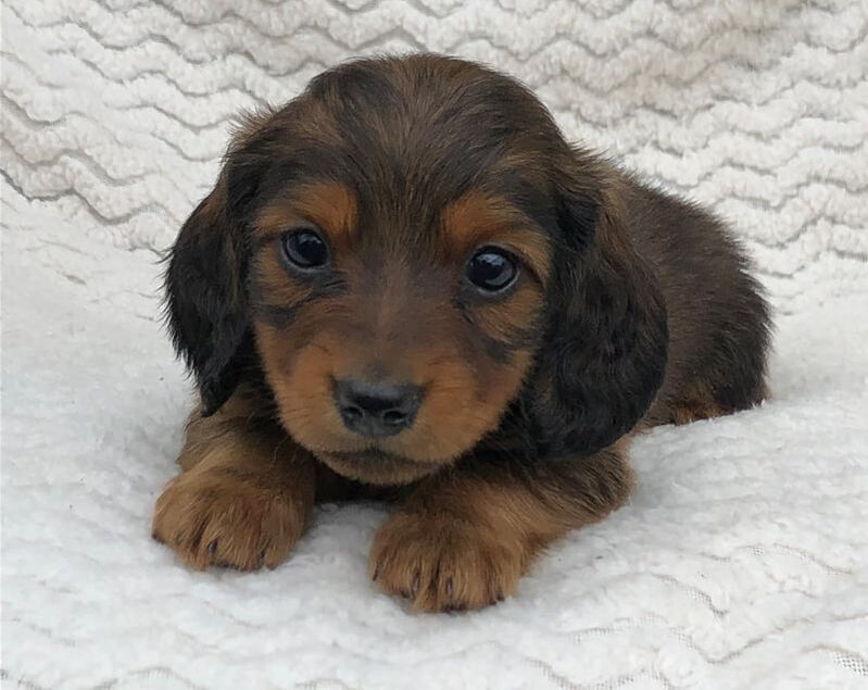 Miniature Dachshund Pups Available For Sale Mare Bella Dachshunds In 2020 Miniature Dachshund Dachshund Puppies For Sale Minature Dachshund
