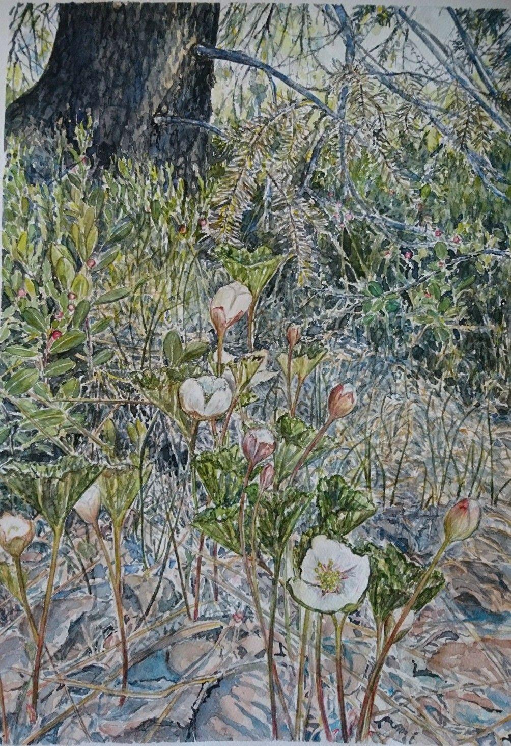 Watercolor. Norwegian spring. Akvarell. Vår og blomstrende multeblomster i skogen. Gerd Østlie Elgshøen.