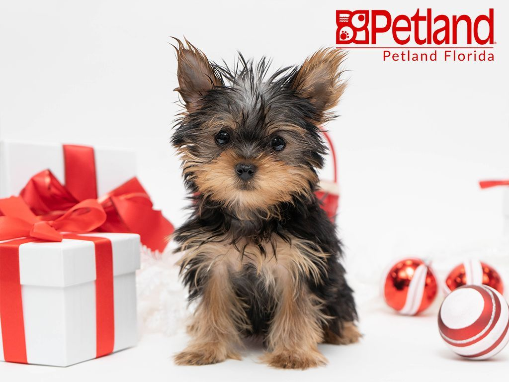 Petland Florida has Yorkie puppies for sale! Check out all