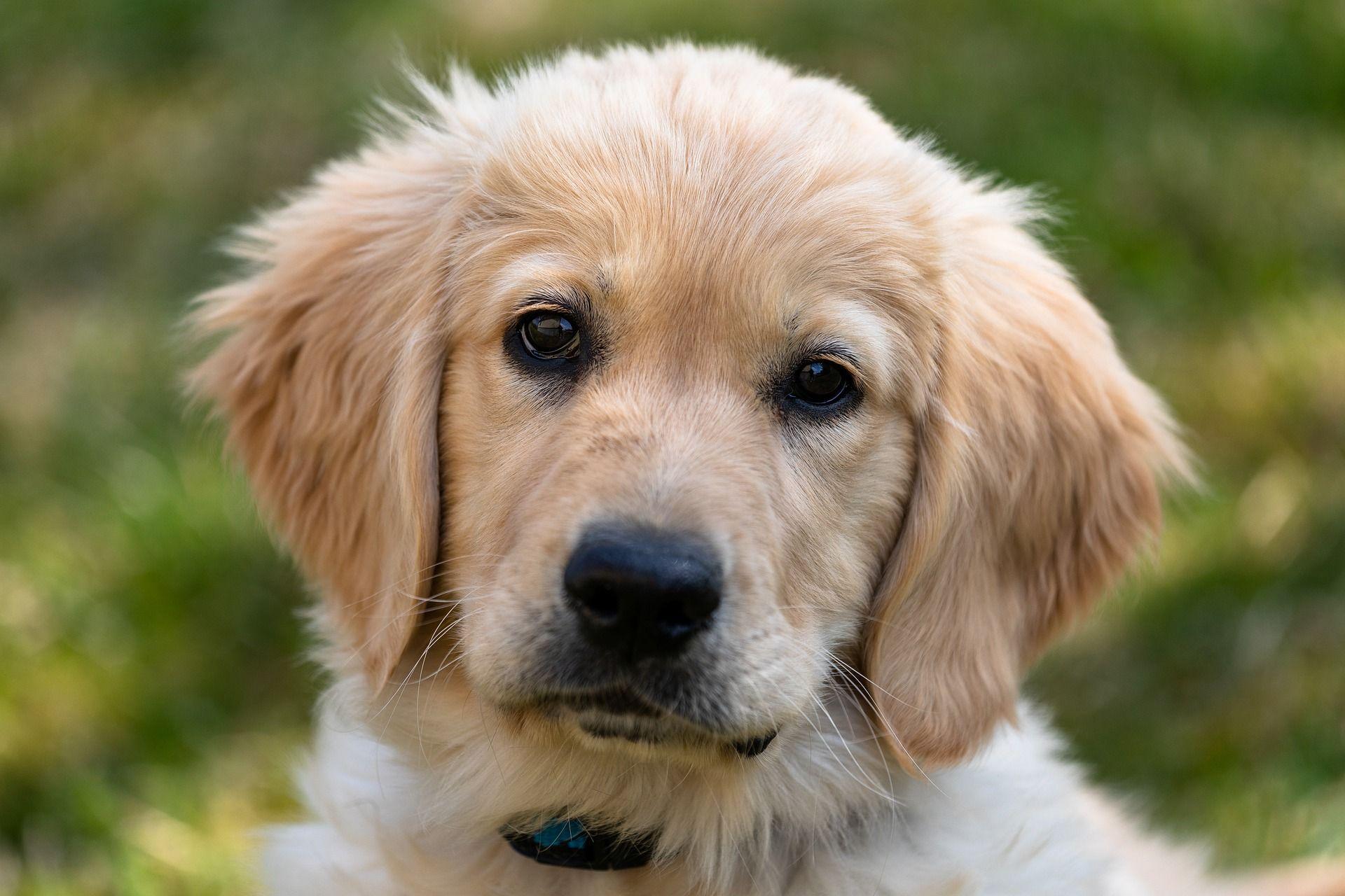 Golden Retriever Puppy Dogs Golden Retriever Dog Daycare Buy