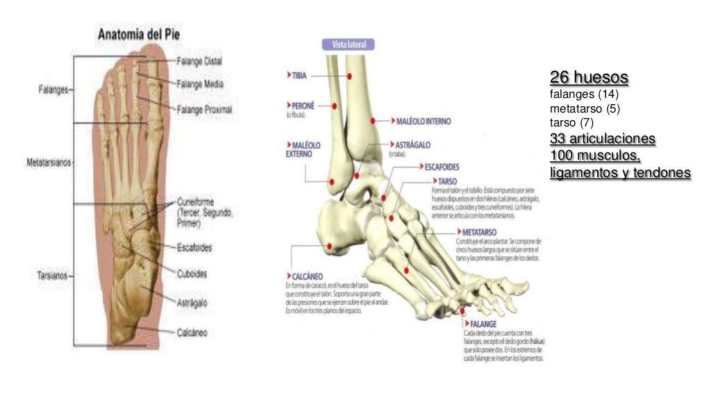 Vistoso Muñeca Tendones Y Ligamentos Anatomía Imagen - Imágenes de ...