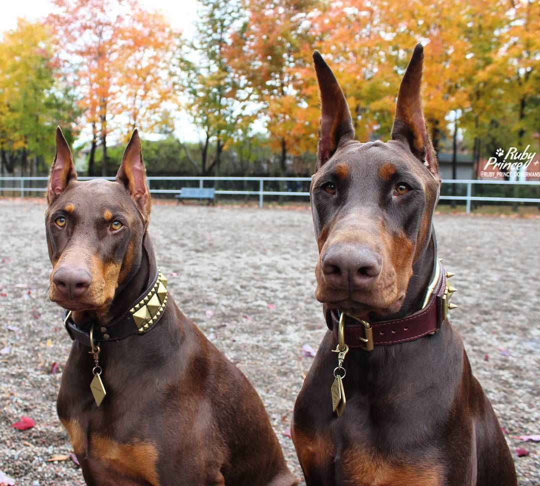 460 Likes 25 Comments Ruby Prince Ruby Prince Dobermans On