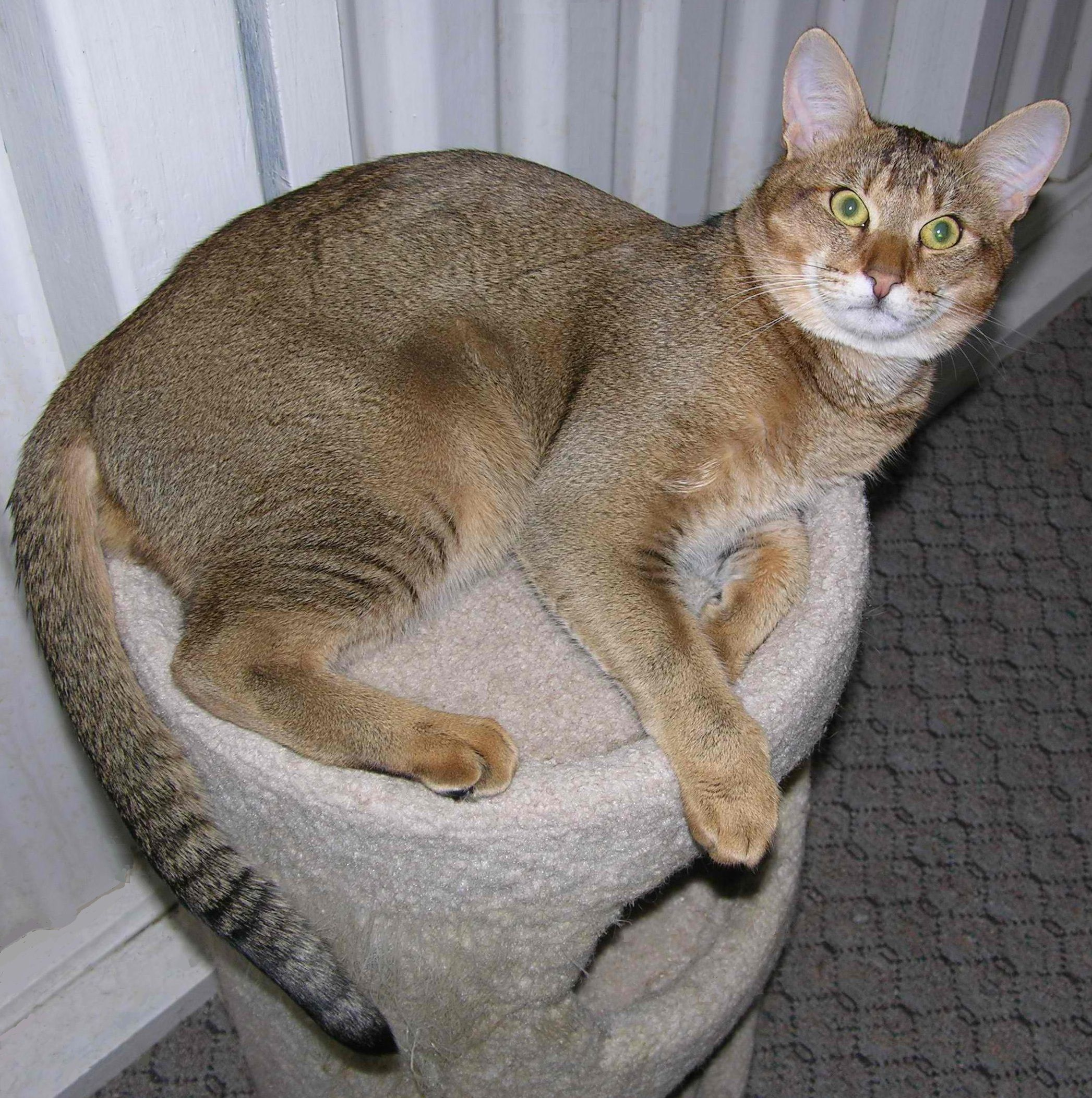 Chausie Cat breeds, Chausie cat, Largest domestic cat