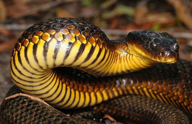 4 タイガースネーク 毒蛇の話をする際タイガースネイクは最初に思い浮かばない事が多い しかしこの猛毒な蛇に攻撃されたものは数しれない 人間が噛まれた時は大抵死に至ってしまう この蛇は昼も夜も獲物狩りをするので いつ攻撃に出るかが予測しにくい 結果