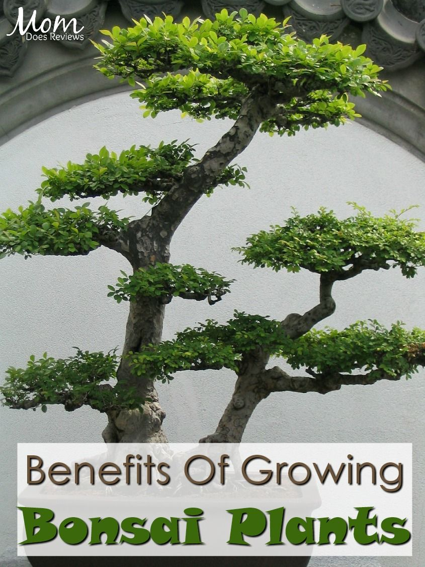 Benefits Of Growing Bonsai Plants In Your Home Bonsai Plants