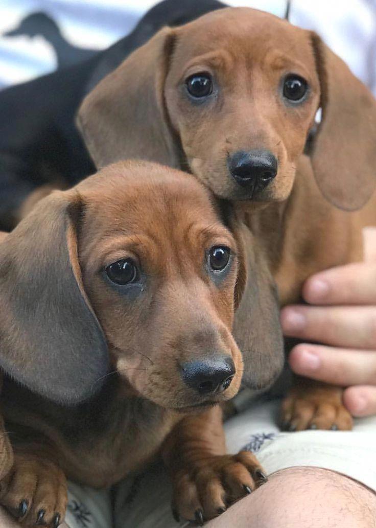 More About The Vigilant Daschund Puppy Grooming Daschund
