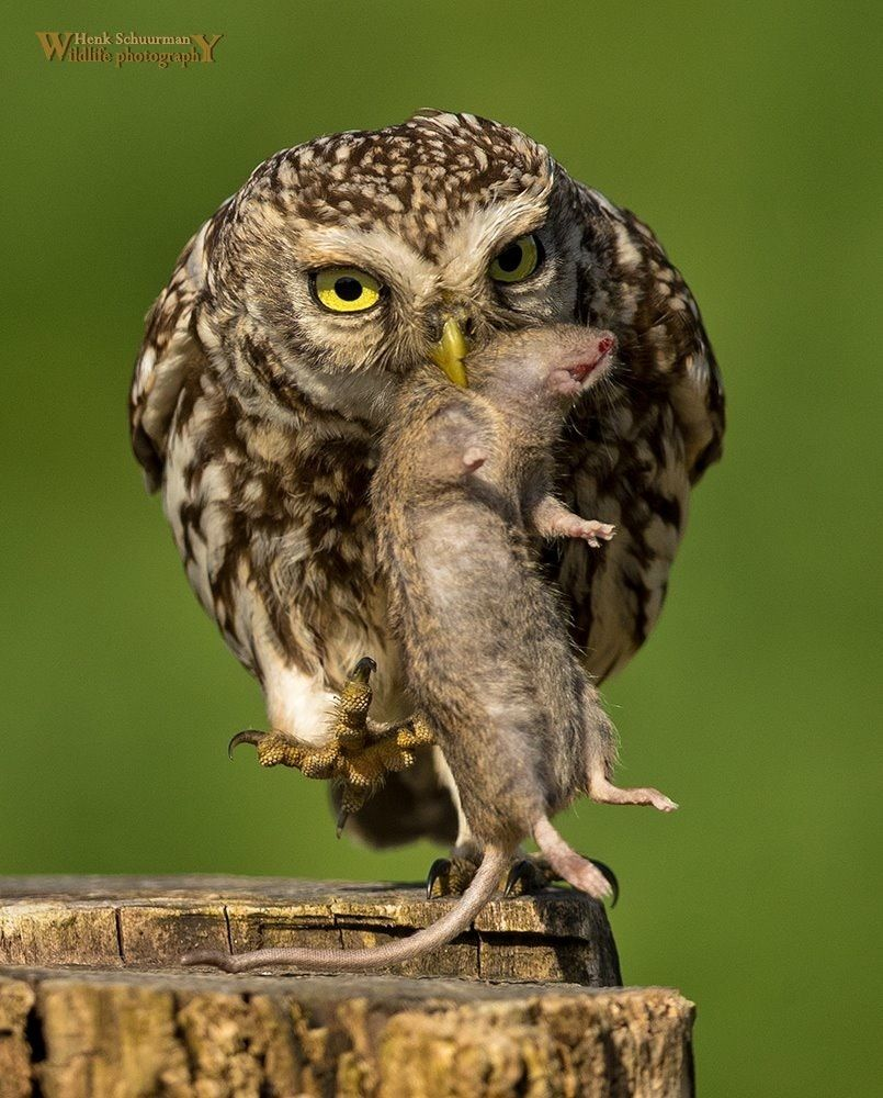 Little Owl Catch The Mouse It Looked Li