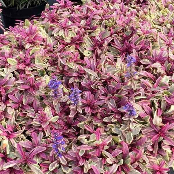 Ajuga Princess Nadia Bugleweed Sugar Creek Gardens In 2021 Perennials Flower Spike Plant Nursery