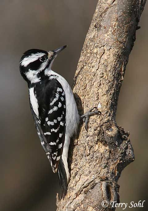 Remarkable, rather photos of hairy woodpecker topic Absolutely