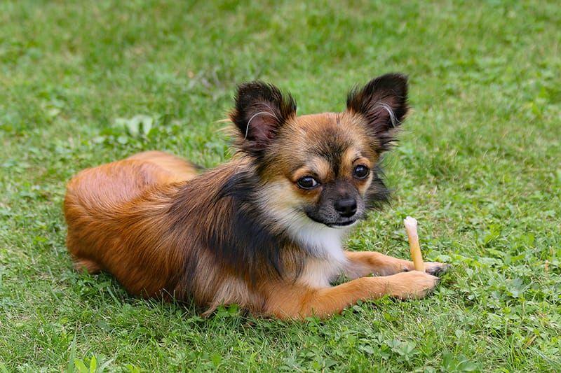 Adorable Small Dog Names Corgi Facts Corgi Pembroke Welsh Corgi