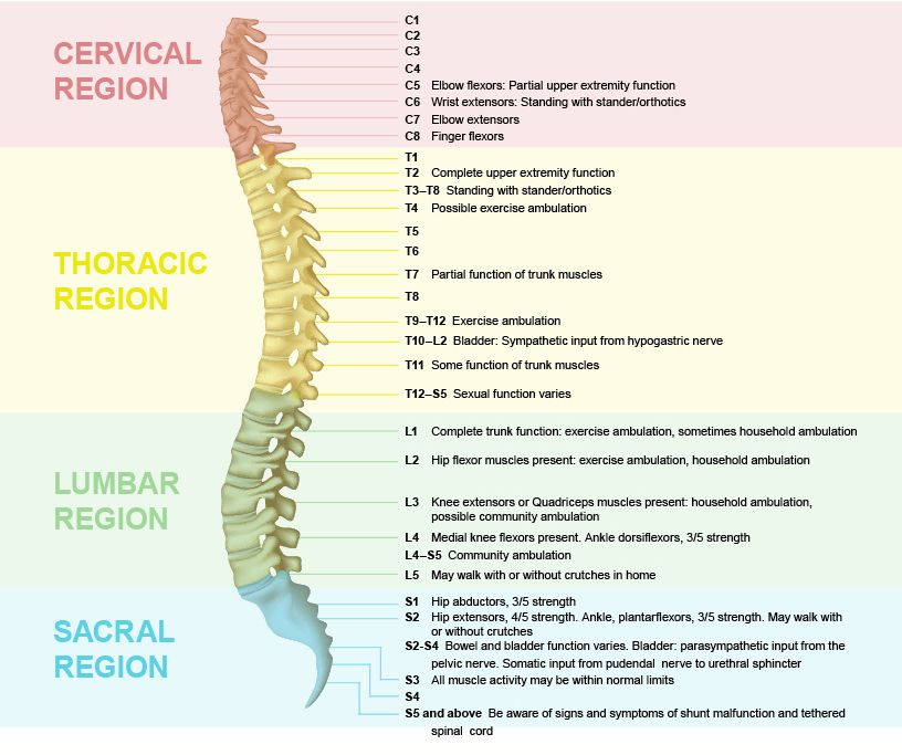 the regions of the spine and their functions! | spine facts, Cephalic Vein