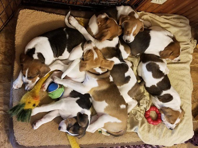 A Quick Check In From Puppies R Us Treeing Walker Coonhound