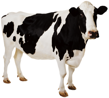 Cow PNG 7