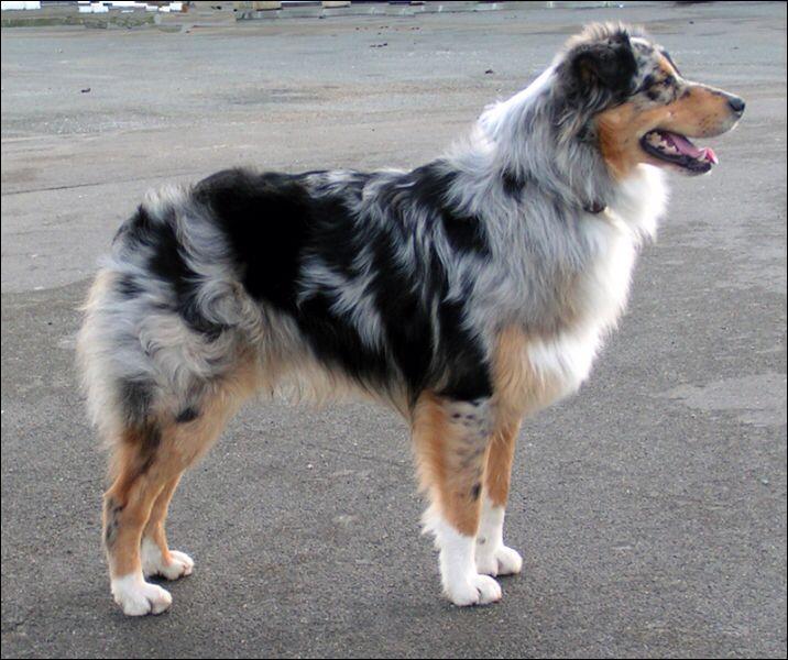 Pin By Lauren Blalock On Animaux Australian Shepherd Dogs Aussie Dogs Big Dog Little Dog