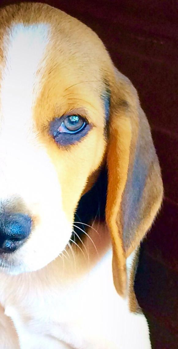 All About The Curious Beagle Pup Grooming Beagles Beaglelife