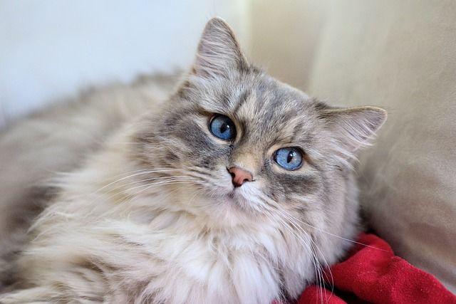 Katze, Langhaarkatze, Stubentieger -