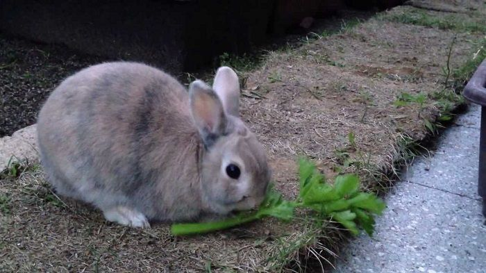Can Rabbits Eat Celery Rabbit Eating Rabbit Canning