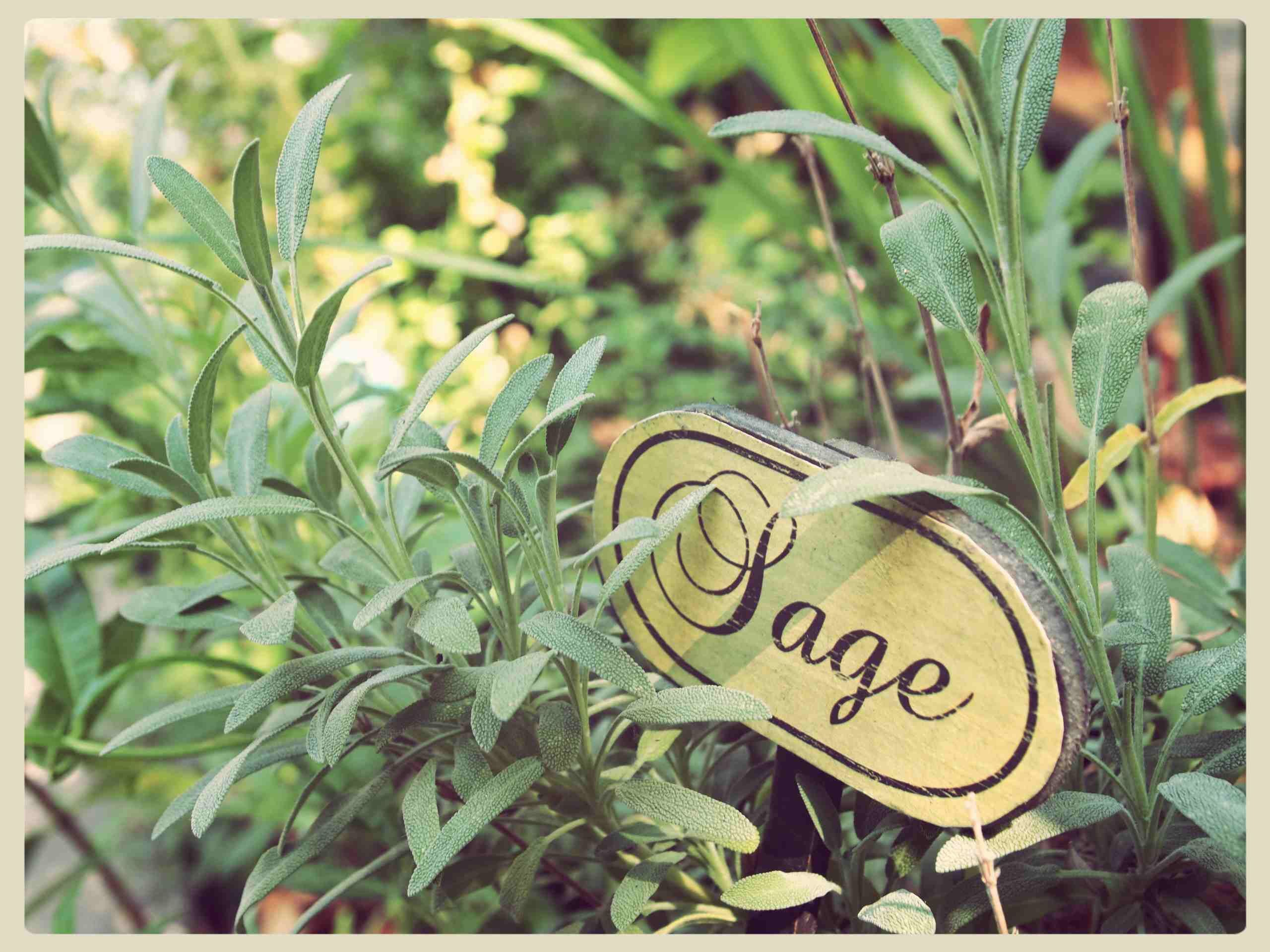Sage leaf or salvia officinalis (sage) has many health and beauty benefits. It's a grayish, green leaf native in Mediterranean region. The plant sage or 'salvia' in Latin means 'to save' because of its healing properties. The sage leaves are made by crushing it and put in a boiling water to treat asthmatic or nasal