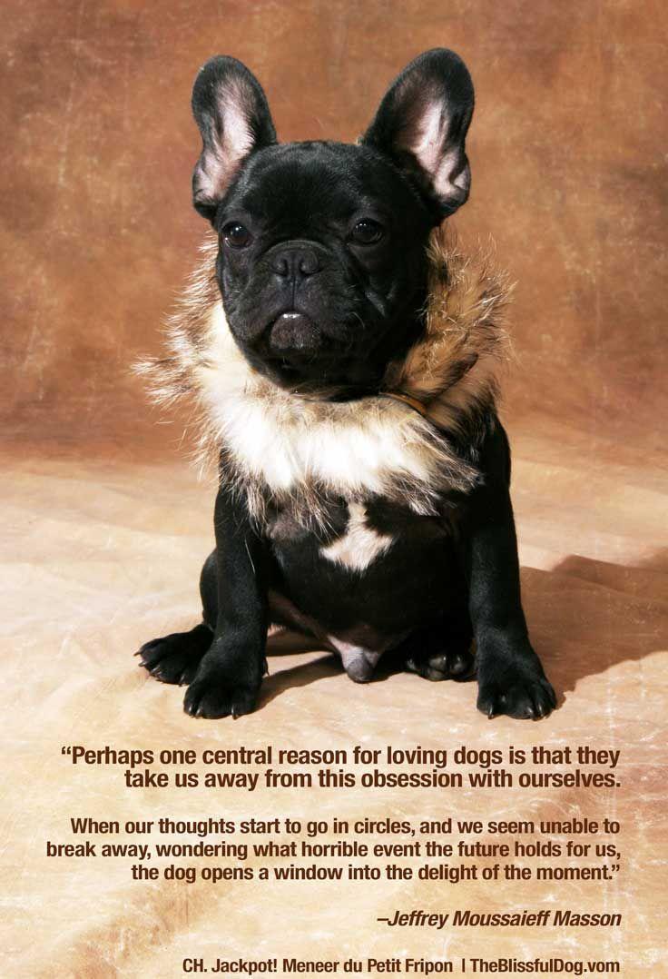 Pin By Aristocrat French Bulldogs Bullmastiffs On Aristocrat