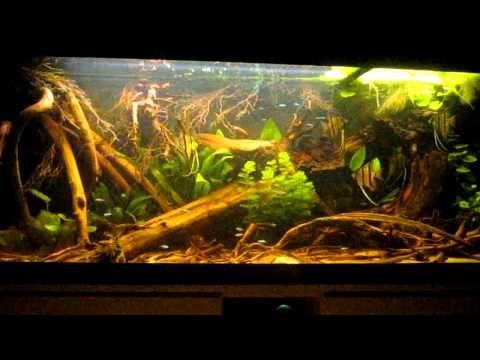 Amazon biotope angel fish cardinal tetra youtube for Amazon aquarium fish